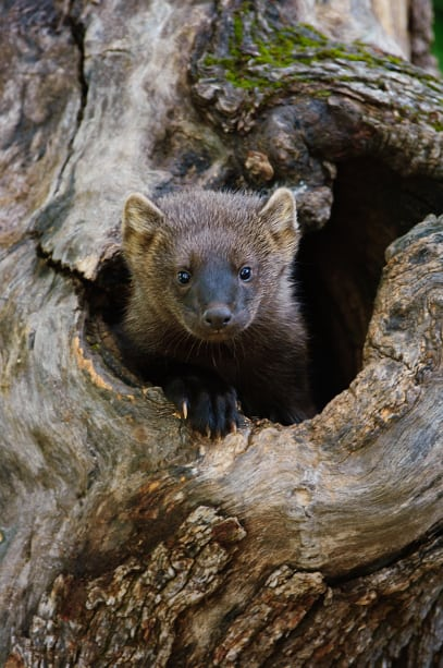 Juvenile Fisher, Martes pennanti looking at the photographer from a hole in a tree. Jeff Wendorff Photographer