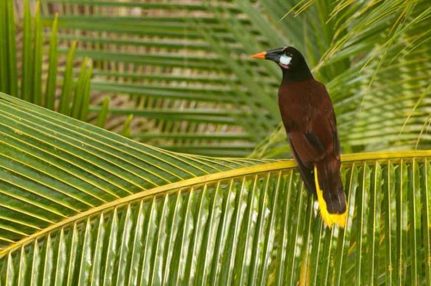 Montezuma Oropendola, Psarocolius montezuma in a palm tree by Jeff Wendorff Photographer