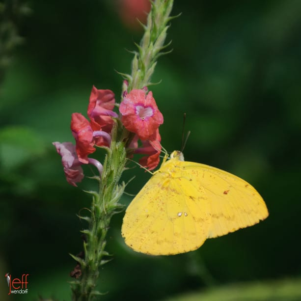 Orange-barred Sulphur, Phoebis philea by photographer Jeff Wendorf