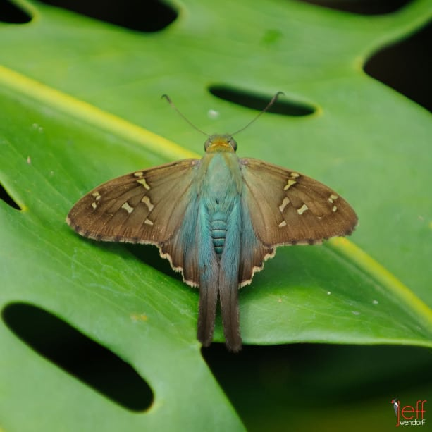 Long-tailed Skipper, Urbanus proteus by photographer Jeff Wendorff