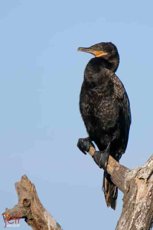 Neotropic Cormorant, Phalacrocorax brasilianus