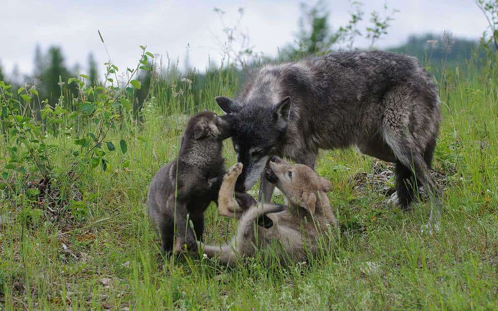Wolf Puppy Photography from Wildlife Photography Workshops