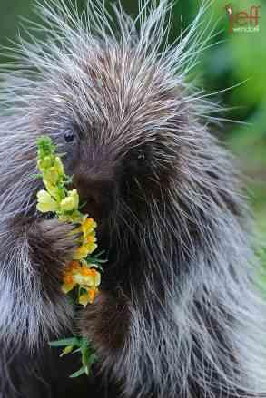 North American Porcupine, Erethizon dorsatum. Canadian Porcupine, Common Porcupine