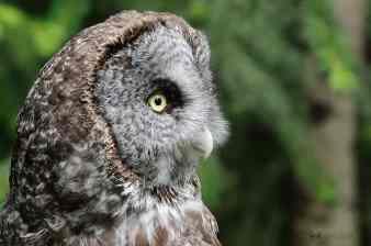 Great Gray Owl, Strix nebulosa