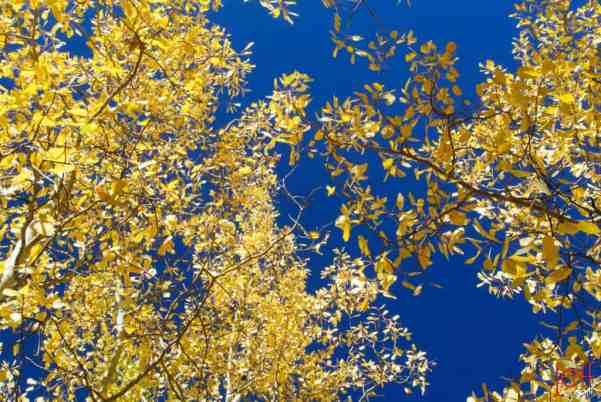 Blue Sky Aspens - Fall in Vail.