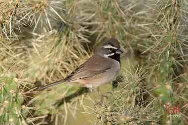 Black-chinned Sparrow, Spizella atrogularis photographed by Jeff Wendorff