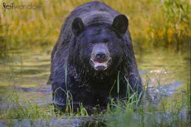 Black Bear Wildlife Photography Workshop