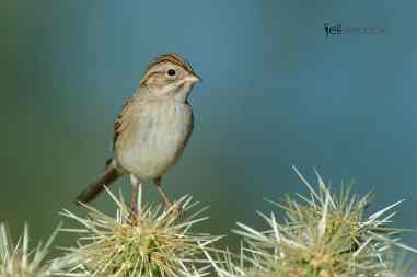 New Bird Species for Me - Brewer's Sparrow