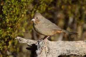 New Bird Species for Me - Canyon Towhee