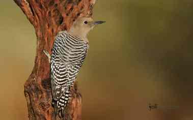 Gila Woodpecker, Melanerpes uropygialis. Female photographed by Jeff Wendorff