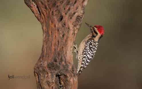 New Bird Species for Me - Ladderback Woodpecker Male