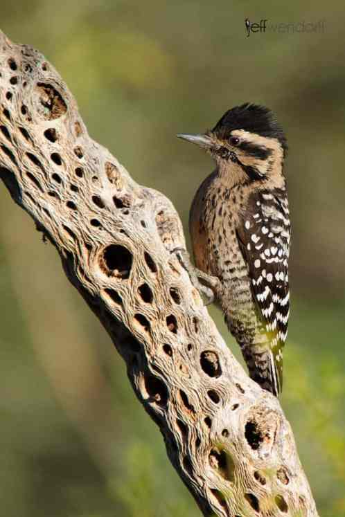 Ladder-backed Woodpecker, Picoides scalaris. Female. photographed by Jeff Wendorff