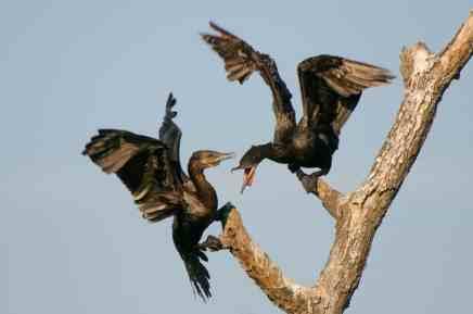 New Bird Species for Me - Neotropic Cormorant
