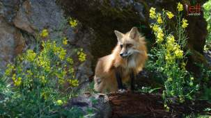 Red Fox at Baby Wildlife Photography Workshop