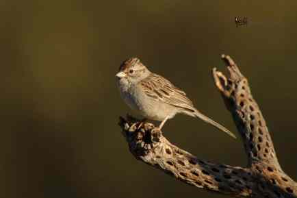 New Bird Species for Me - Rufous-winged Sparrow