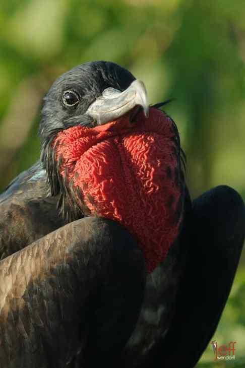 Male Great Frigatebird photographed by Jeff Wendorff