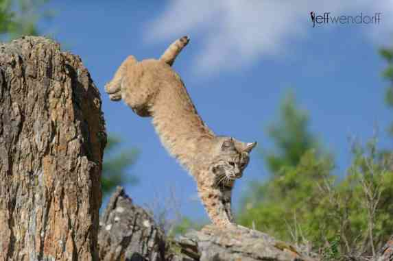 Baby Wildlife Photography Workshop - Adult Bobcat photography by Jeff Wendorff