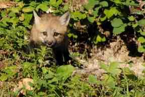 Baby Red Fox - Baby Wildlife Photography Workshop by Jeff Wendorff