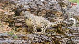 Baby Wildlife Photography Workshop - Adult Snow Leopard photographed by Jeff Wendorff