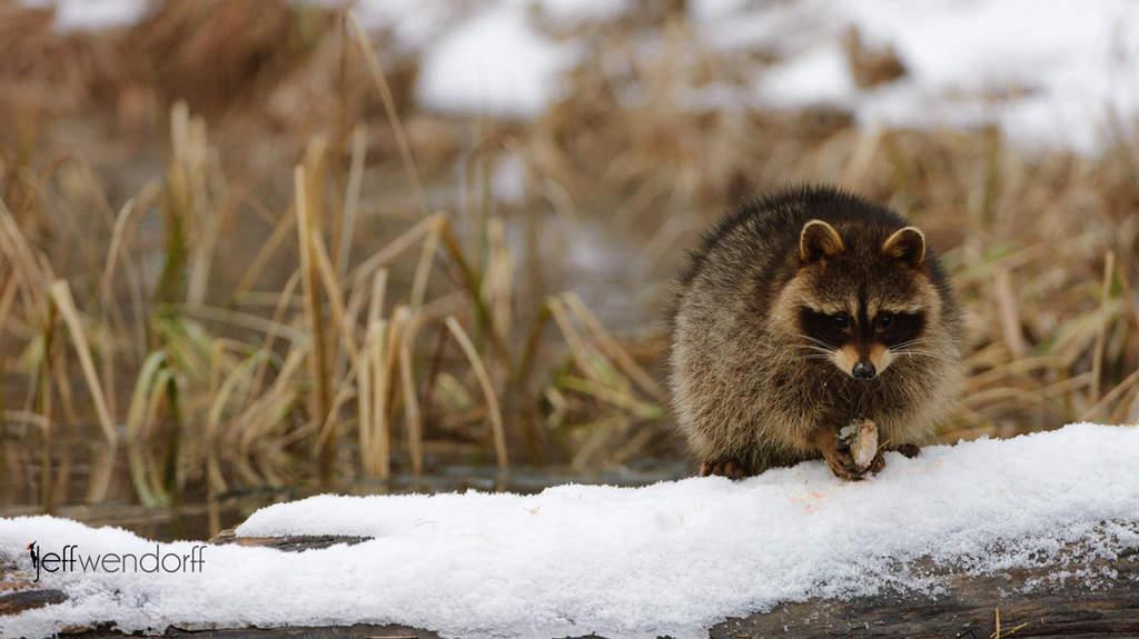 Raccoons – Wildlife Photography Portfolio