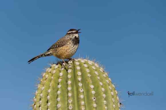 Bird Photography: Cactus Wren, Campylorhynchus brunneicapillus by Jeff Wendorff