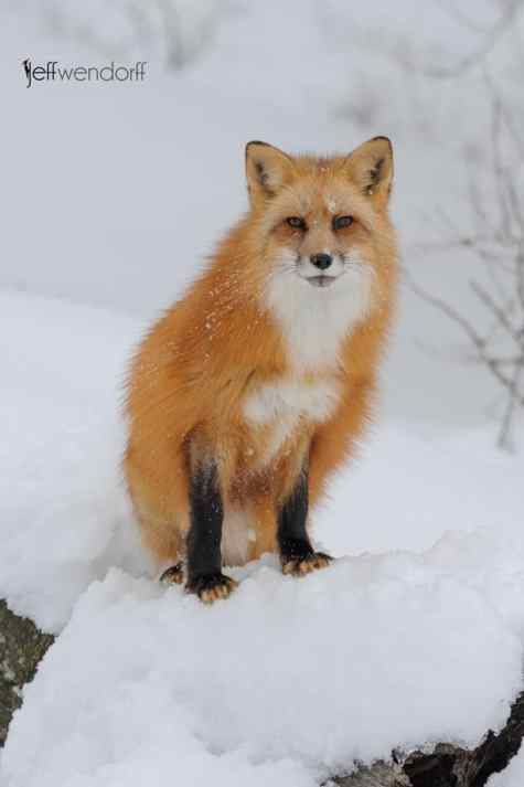 Red Fox from winter wildlife photography workshop with Jeff Wendorff