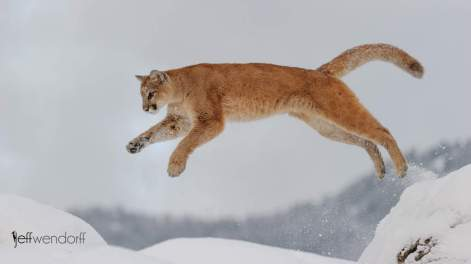 Winter Wildlife Photography Workshop Cougar photographed by Jeff Wendorff