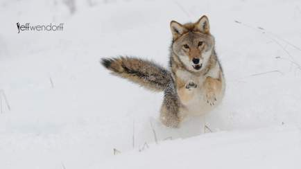 Winter wildlife photography workshop, coyote leaping photographed by Jeff Wendorff