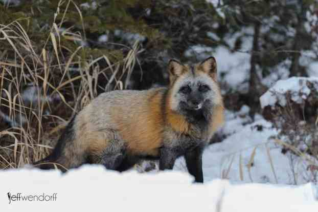 Winter wildlife photography workshop, crossfox photographed by Jeff Wendorff