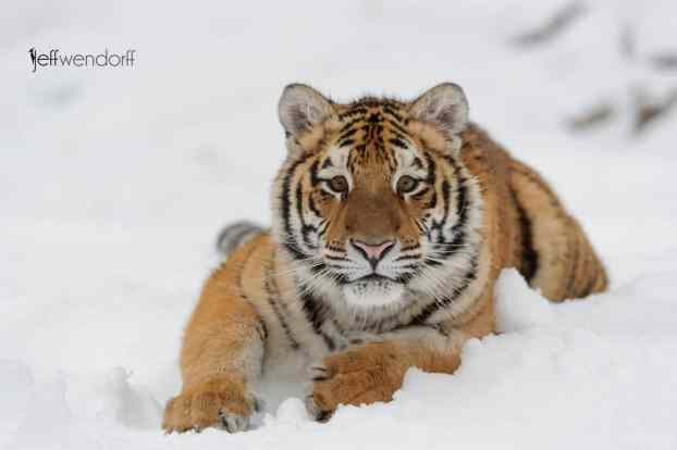 Winter Wildlife Photography Workshop Tiger photographed by Jeff Wendorff