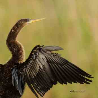 Double-crested Cormorant photographed with Nikon 500mm lens by Jeff Wendorff
