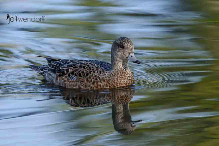Female American Wigeon photographed by Jeff Wendorff