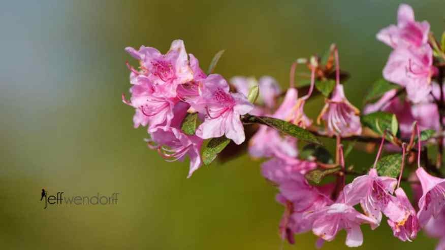 Pink Azalea photographed by Jeff Wendorff
