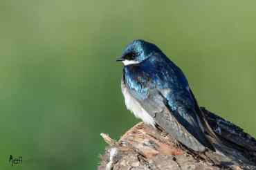 Tree Swallow photographed by Jeff Wendorff