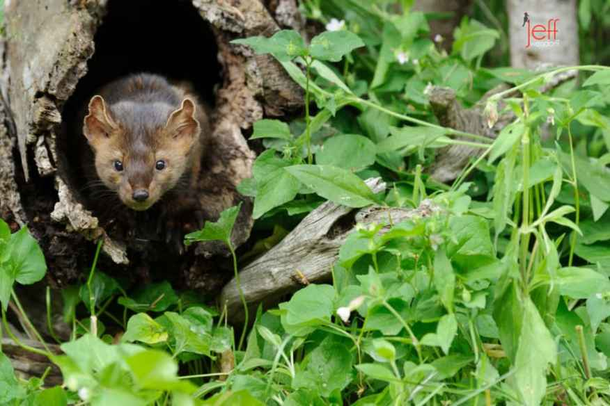 American or Pine Marten in a hollow log photographed by Jeff Wendorff