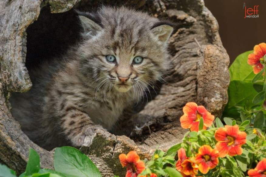 Bobcat kitten in a log with flowers photographed by Jeff Wendorff