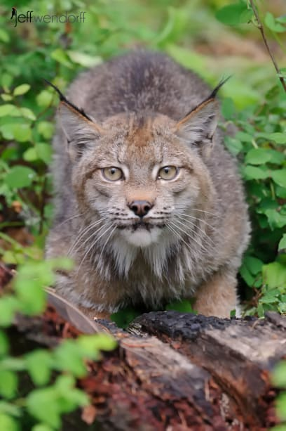 Canada Lynx on a rock photographed by Jeff Wendorff