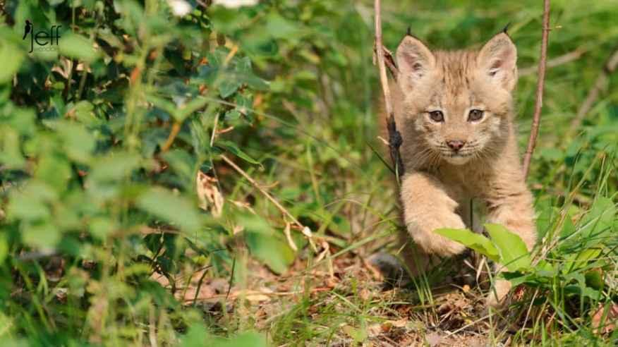 Canada Lynx Kitten walking in woods photographed by Jeff Wendorff