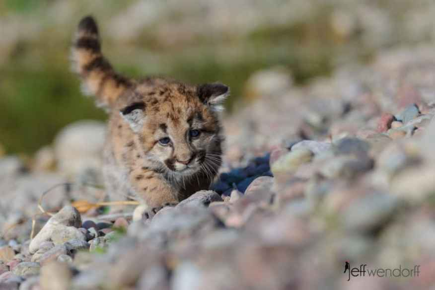 Baby cougar exploring photographed by Jeff Wendorff