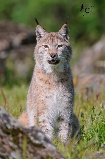 Eurasian Lynx portrait photographed by Jeff Wendorff