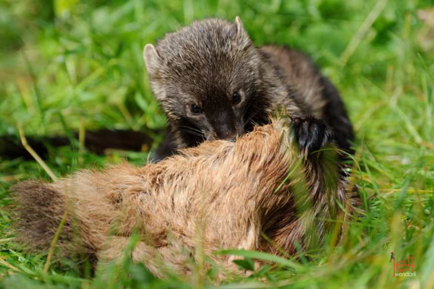 A fisher play attacking a toy photographed by Jeff Wendorff