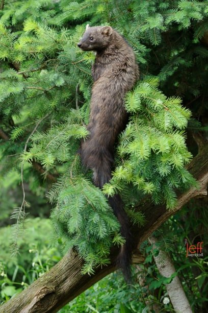 Fisher Cat in a tree looking for attackers photographed by Jeff Wendorff