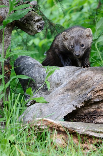 A Fisher Cat prowling the forest photographed by Jeff Wendorff