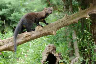 Fisher Cat Photos