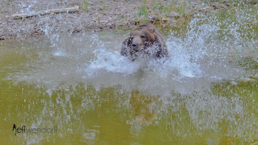 Grizzly bear splashing in water photographed by Jeff Wendorff