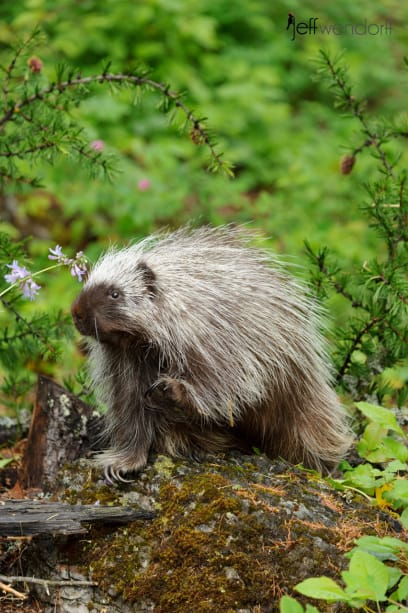 Porcupine in the forest photographed by Jeff Wendorff