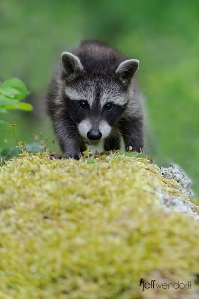 Young Raccoon walking on a mossy log photographed by Jeff Wendorff