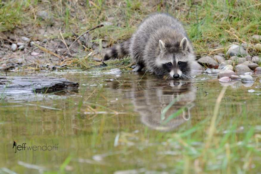 Raccoon hunting for food in a pond photographed bY Jeff Wendorff