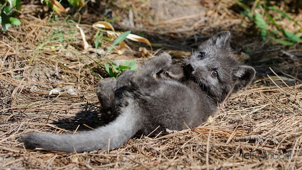 Arctic Fox Photos and Facts