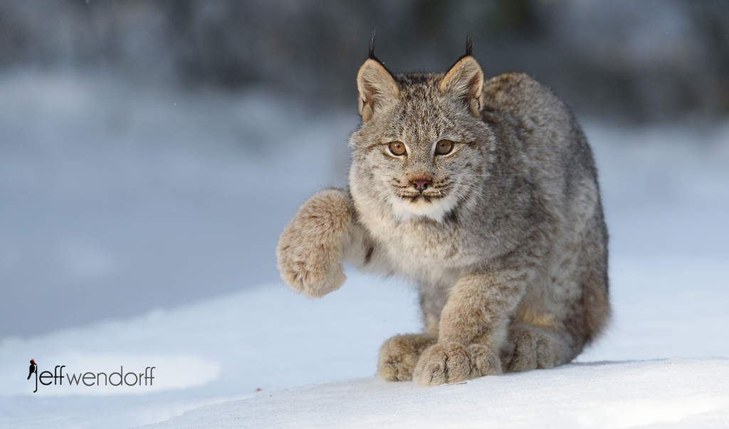 Canada Lynx – Photography Workshop Images
